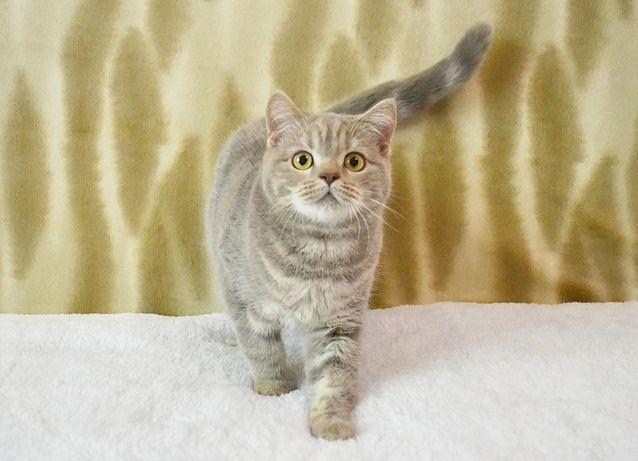 Плюшевая шотландская кошечка. Шотландские котята