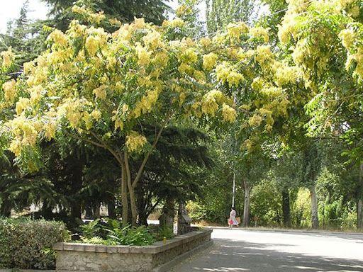 Айлант-пальмовое дерево саженцы купить украина медонос