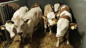 byczki nowa dostawa wszystkie na paszy