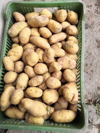 Ziemniaki jadalne orliki