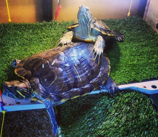 Большая красноухая черепаха. Доставка