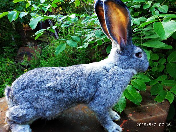 Продам кроликов молодеж Бельгийского Великана