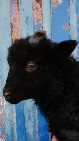 Sprzedam owce wrzosówki/jagnięta/matki kotne/