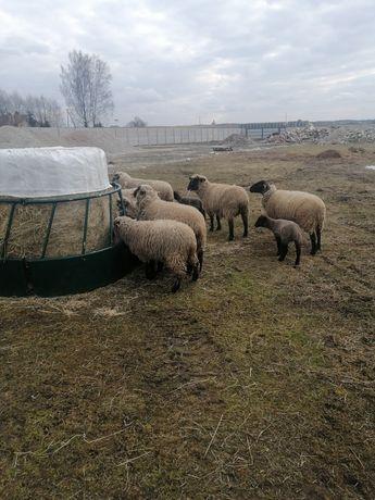 Owce czarnogłówki baranki