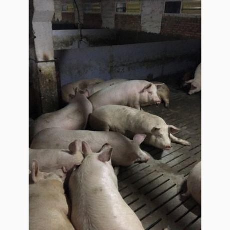 Продам мясных беконных свиней. Живой вес.