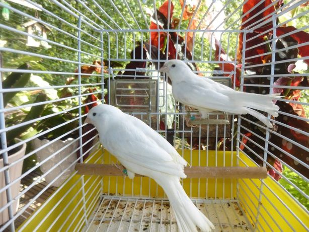 Молодые певчие кенара белого цвета