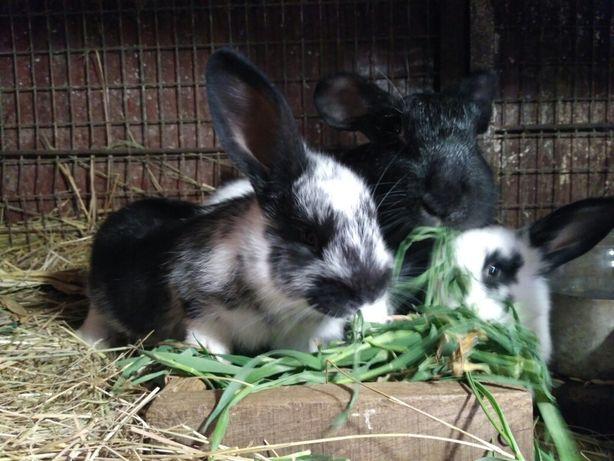 Кролики на развод и мясо, Киевская область