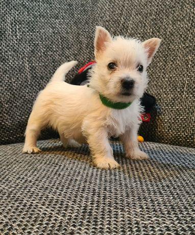 West Highland white terrier- super chłopiec