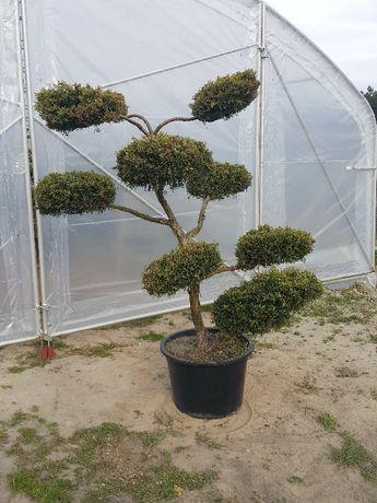 Jałowiec Juniperus formowany bonsai