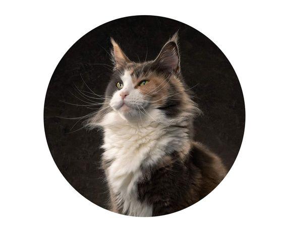 Niebieska szylkretka Wienka - dorosła kotka Maine Coon