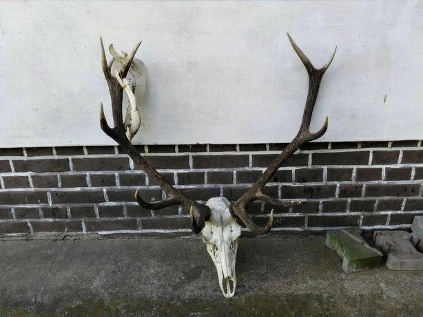 Wieniec jelenia z żuchwą