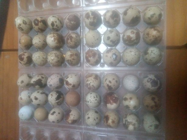 Ovos galados para incubar