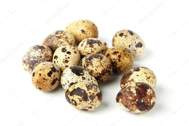 Jajka lęgowe przepiórki japońskiej