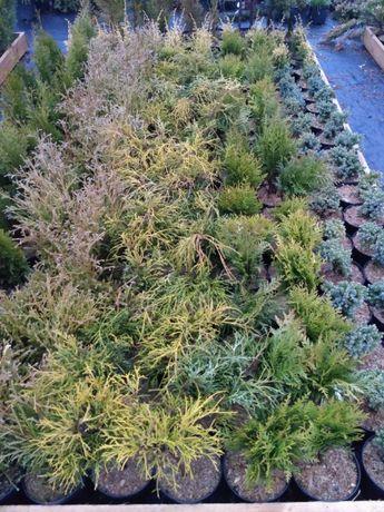 Jałowiec jałowce blue chip golden carpet conferta variegata andorra