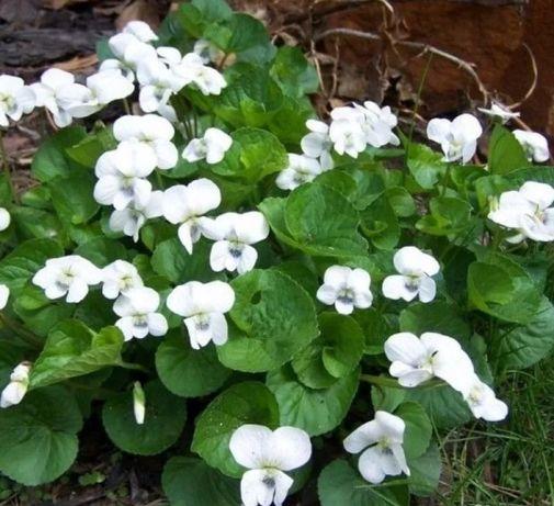 Фиалка белая садовая