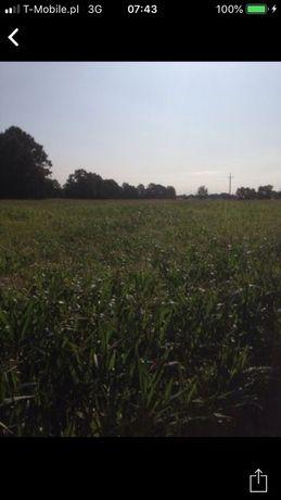 Kiszonka z kukurydzy, możliwość transportu przyczepa 20T