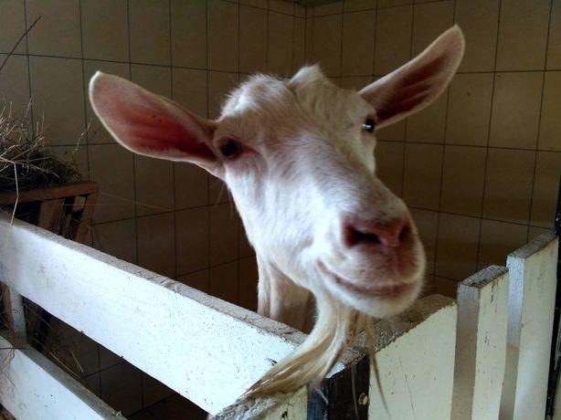 Продам зааненську козу