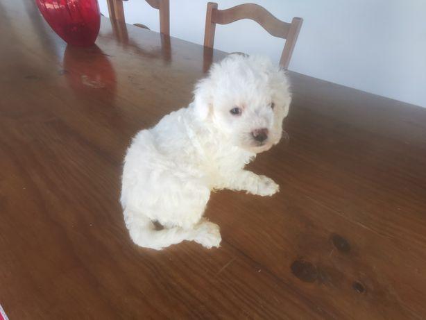 Caniche toy macho branco para intrega imediata