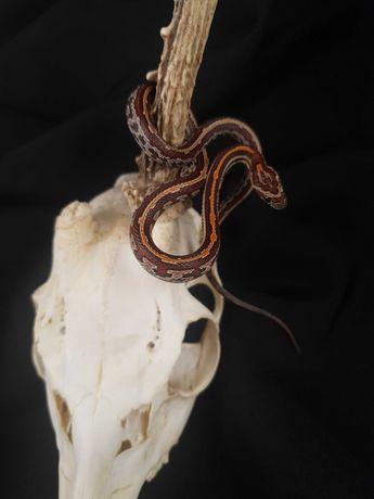Wąż zbożowy Tessera samiec 10.