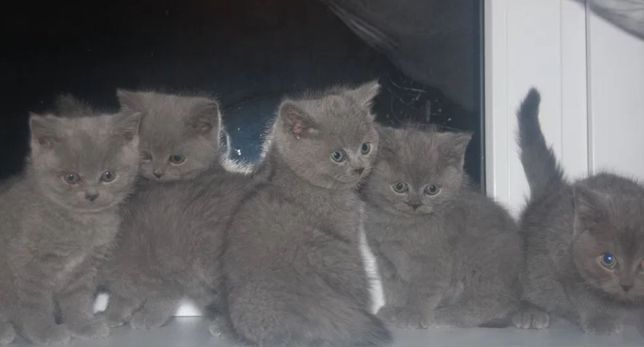 Kocięta Brytyjskie Brytyjczyki z Rodowodem