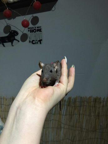 Szczury FUZZ dumbo szczurki szczur szczurek szczurka samce