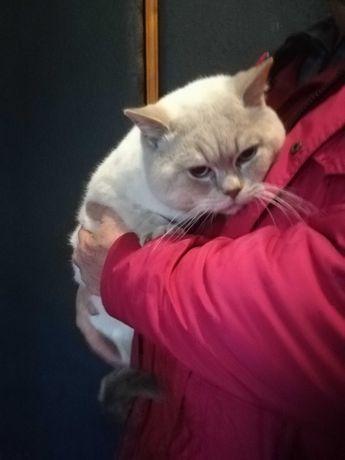 Вот такой шикарный шотландский кот приглашает кошечек на вязку!
