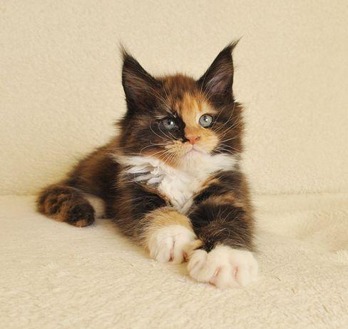 Przepiękna koteczka Thalia Black Aster*PL do hodowli