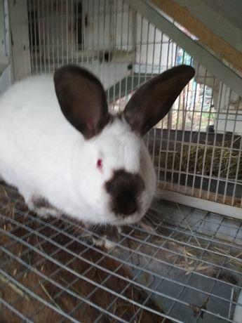 Продам кроликов Калифорнийской породы, возраст от 3-х месяцев