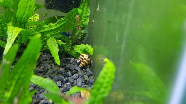 Helenki ślimak zabójcy innych ślimakow