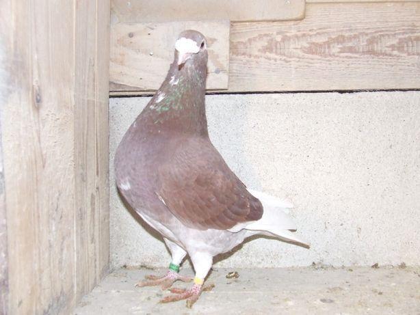 Gołąbki od Mariana nr 42 - gołębie staropolskie
