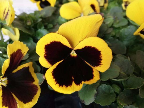Kwiatki bratki cudne 2.50zl sztuka