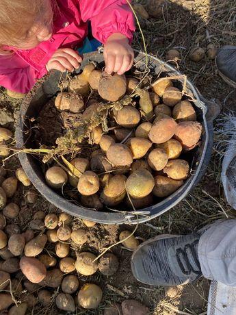 Картофель на корм животным