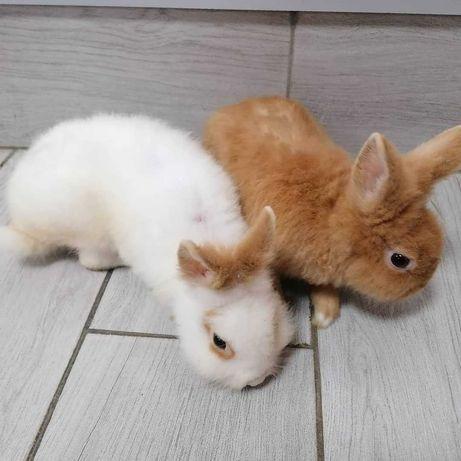 Декоративні кролики. Ціна 200грн.