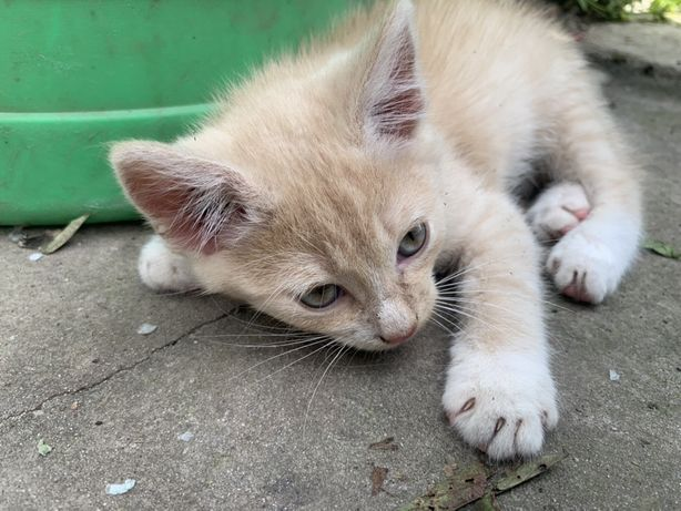 Котёнок рассцветка песочная, не рыжая, очень красивый