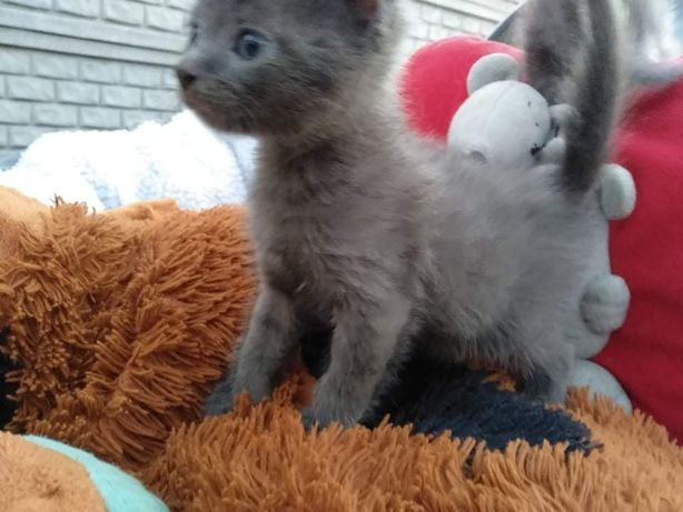 Котята мама Донской сфинкс
