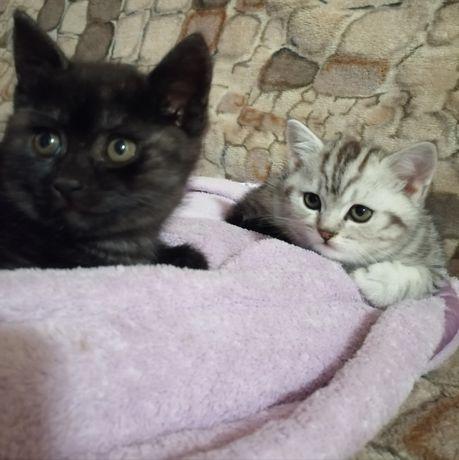 Кошенята Скоттиш-страйт
