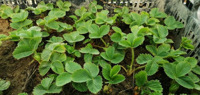 Sadzonki truskawki powtarzającej owocowanie