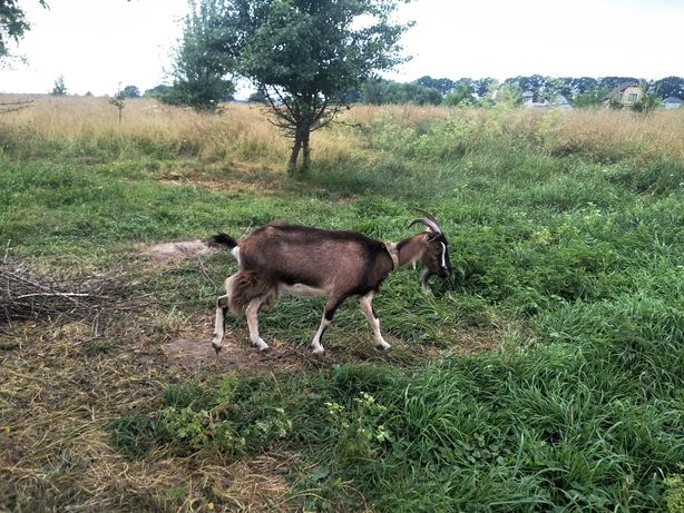 Коза дійна, не вонюча, не балувана
