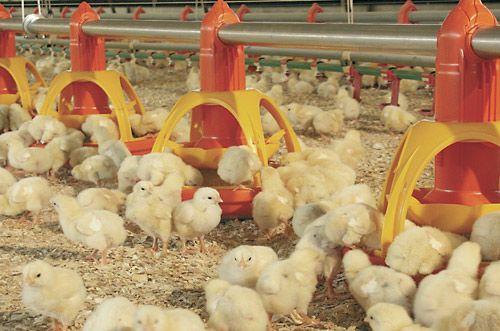 Цыплята бройлеры КОББ-500 (суточные). Вакцинированные