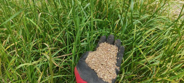 Mieszanka traw życica festulolium kupkówka lucerna koniczyna wysyłka