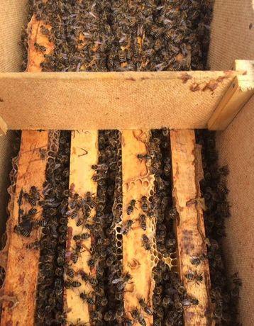 Австрия Бджолина матка Peschetz Пешец Carnika Карника