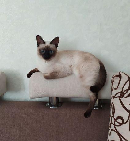 Кішка меконгський бобтейл шукає пару