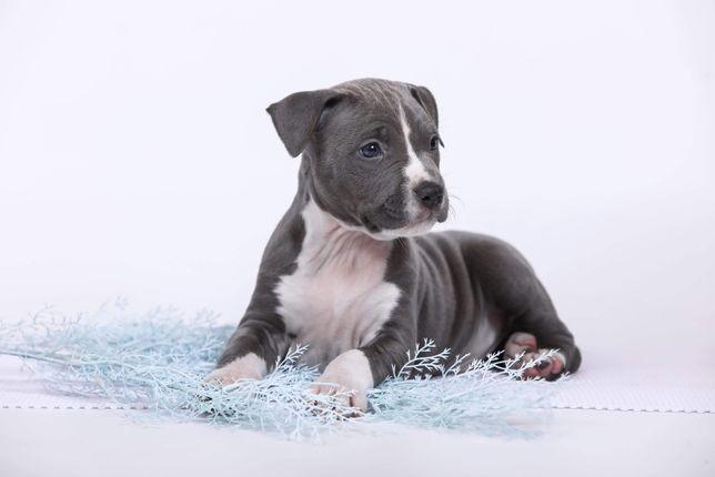 Красивый щенок АСТ в типе модерн