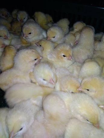 Суточные цыплята оптом