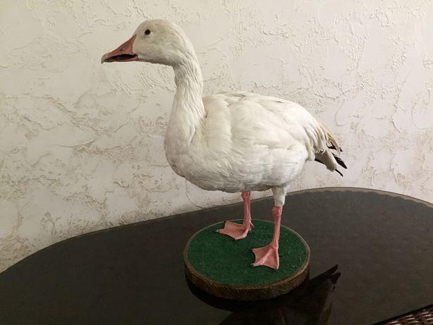 Чучело полярного гуся продам.