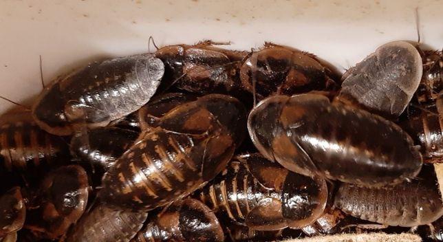 Аргентинский тараканы (Blaptica Dubia)
