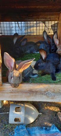Króle króliki młode