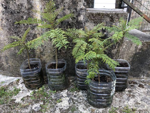 Jacarandá planta