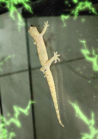 Лугубрис Lepidodactylus lugubris гекконы малыши,  корма
