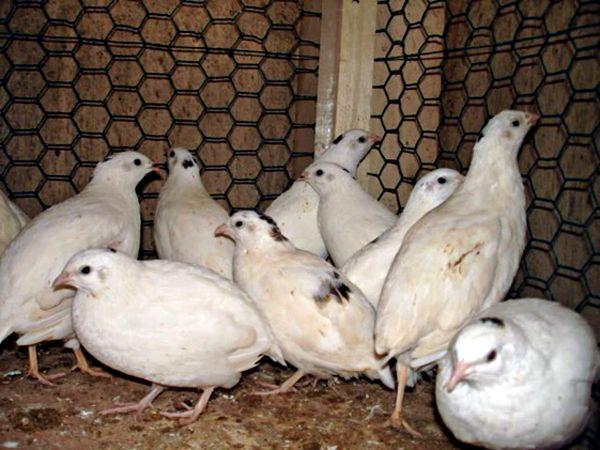 Jajka przepiórcze lęgowe Texas